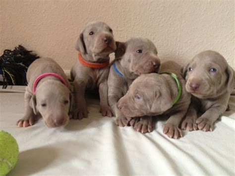 weimaraner puppies colorado weimaraner puppies northton northtonshire pets4homes