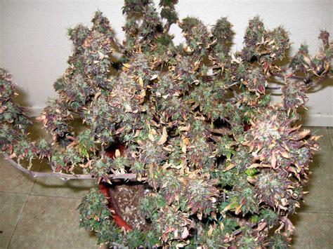 led flowering grow lights led grow lights can burn cannabis buds grow easy