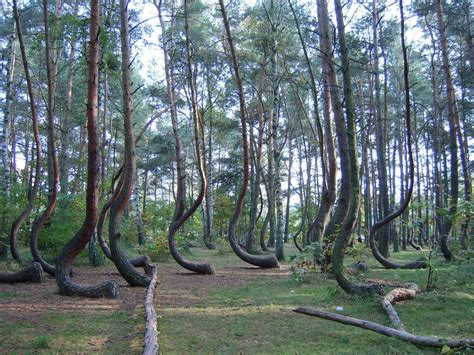 the crooked forest of gryfino poland natures mighty pictures nature photos nature wallpapers