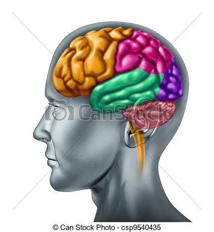 imagenes libres cerebro stock im 225 genes de cerebro humano cerebro l 243 bulo