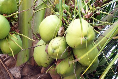 nutritional benefits of eating green coconuts eat live life
