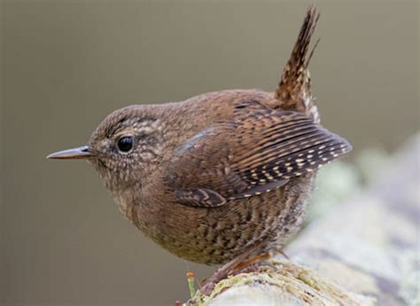 pacific wren identification all about birds cornell