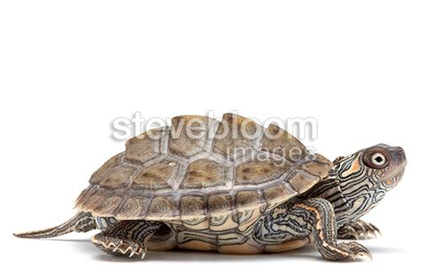 texas map turtle care texas map turtle in studio on white background texas map turtle