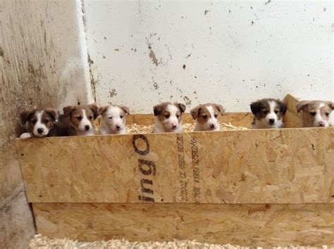 brown and white puppies beautiful brown and white collie puppies for sale welshpool powys pets4homes