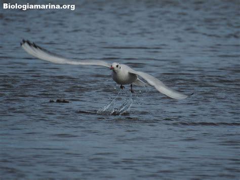gabbiano comune gabbiano comune biologia marina mediterraneo