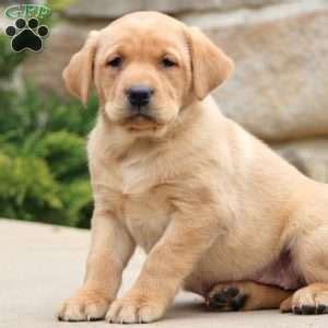 yellow lab puppies for sale in pa yellow labrador retriever puppies for sale greenfield puppies
