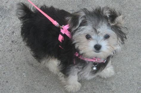 yorkie keeps sneezing morkie puppies for sale with grown temperament described