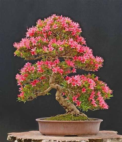 Azalea Shoo 62 best bonsai images on bonsai trees bonsai