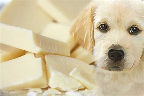 can dogs eat dairy can dogs eat white chocolate is it safer than milk chocolate or just as toxic