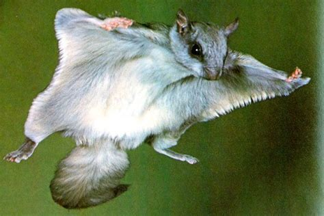 where do flying squirrels live feedingnature com