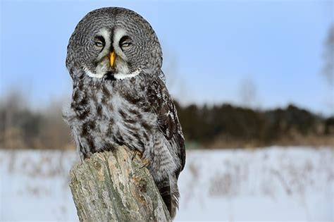 re a little fun with d800e 70 200f2 8 vrii bald eagle owl falcon birds of prey nikon