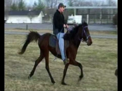 Speed Racking Standardbred Horses For Sale by Standardbred Speed Mare For Sale