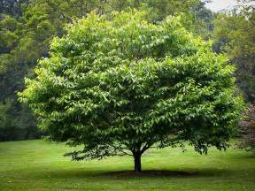 images of trees american hornbeam for sale the tree center