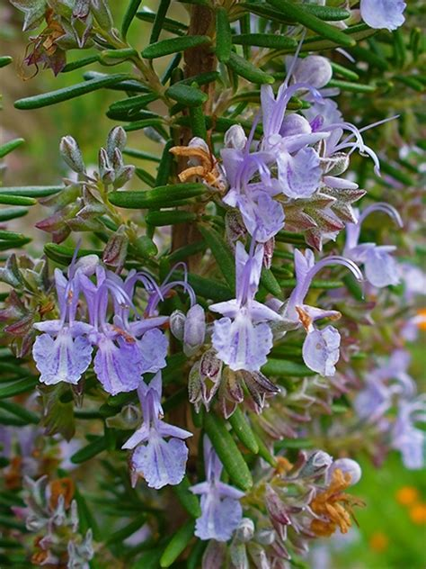 pianta fiorita tutto l anno rosmarino cure e rimedi naturali con erbe e piante