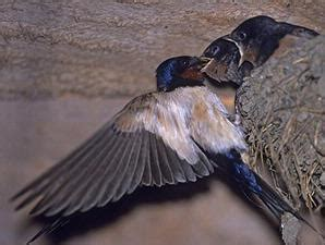 Pakan Sarang Walet panduan awal budidaya burung walet klub burung