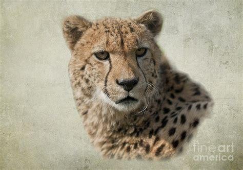 Apps For Floor Plans Ipad by Cheetah Acinonyx Jubatus Digital Art By Floorone Photography