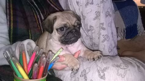 boy pugs for sale fawn boy pug for sale wigan greater manchester pets4homes