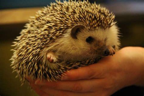 best bedding for hedgehogs hedgehog cage price hedgehog cage bedding hedgehog cage