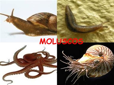 imagenes de animales moluscos moluscos