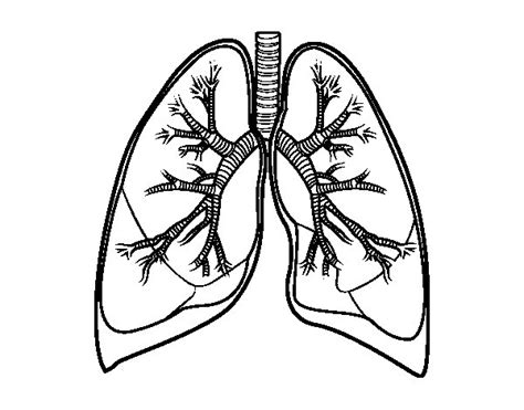coloring pages of heart and lungs lungs and bronchi coloring page coloringcrew com