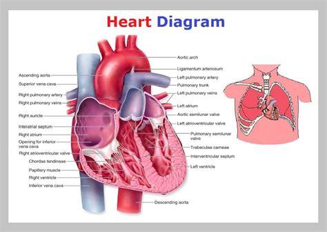human valves diagram diagram diagram diagram diagram chart