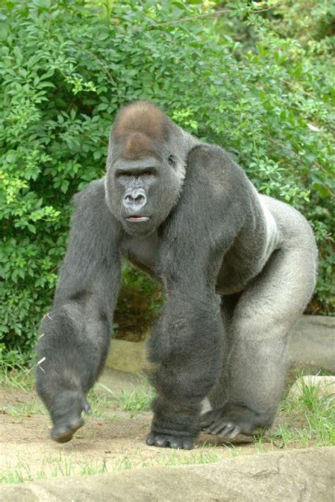 25+ best ideas about Silverback Gorilla on Pinterest ...