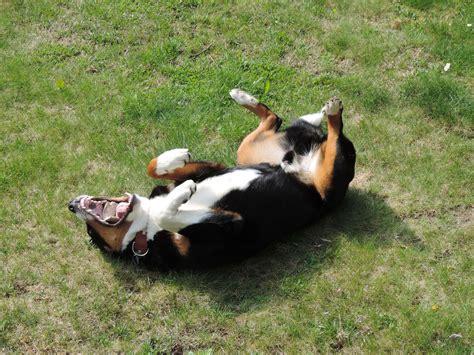 appenzeller mountain appenzeller sennenhund breed 187 info pics more