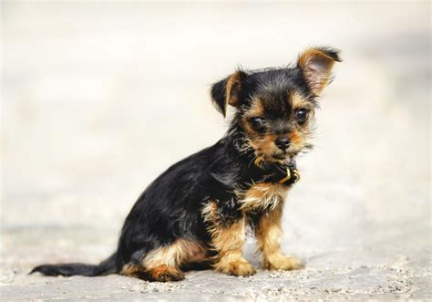 yorkie temperament personality traits of the tiny and lovable chihuahua