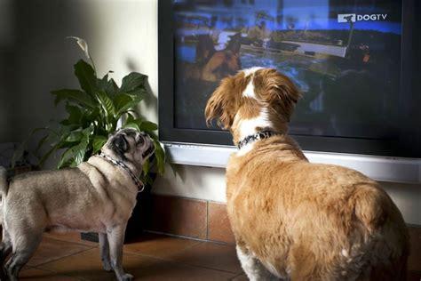 do dogs tv os c 227 es conseguem assistir televis 227 o como os humanos portal do