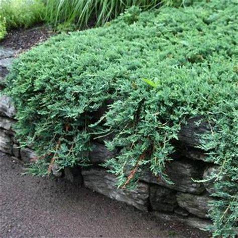 blue rug juniper seeds juniper blue rug for sale greener earth nursery
