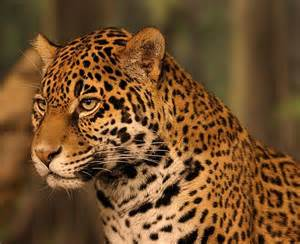 Jaguars Definition D 233 Finition Jaguar Panthera Onca Futura Plan 232 Te