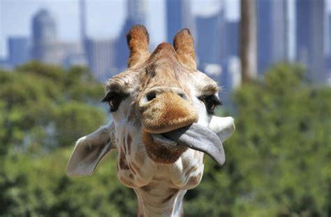 imagenes de jirafas sacando la lengua jirafa lengua planeta curioso