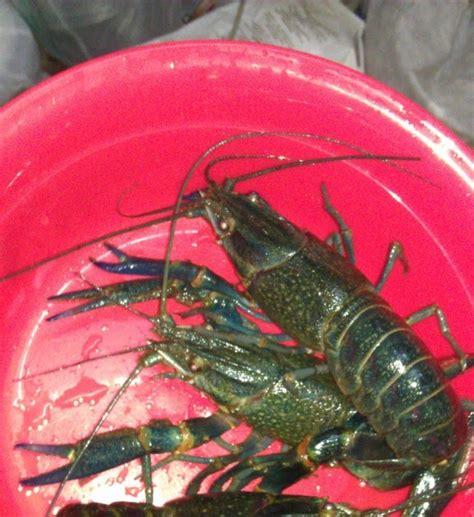 Pembenihan Lobster Air Tawar 169 lobster air tawar since 2010 by bro azizie pengenalan lobster air tawar