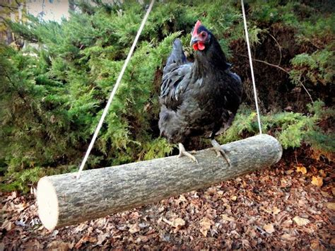 Backyard Chickens Toys The 25 Best Ideas About Chicken Toys On