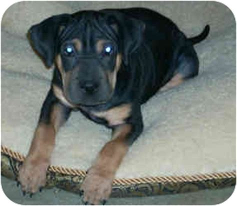 shar pei and rottweiler mix gertie adopted puppy carrollton tx shar pei rottweiler mix
