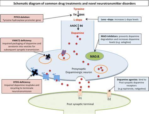 neuropeptide y supplement neurotransmitters diagram www pixshark images