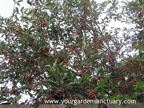 cherry is a great smaller fruit tree your
