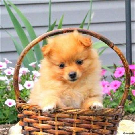 pomeranian puppies for sale in baltimore md pomeranian puppies for sale in de md ny nj philly dc and baltimore