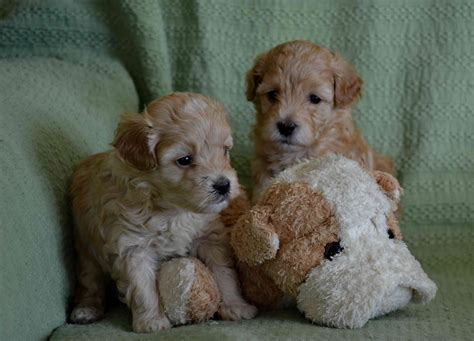 havapoo puppies for sale havapoo puppies for sale horncastle lincolnshire pets4homes