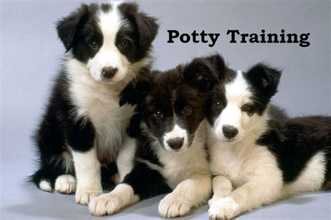 potty puppy fast 17 best ideas about border collie puppies on collie puppies puppy breeds