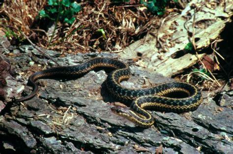 Garden Snake Maine Snakes Of Massachusetts