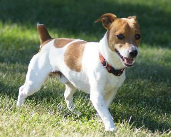 Parson Terrier Shedding by Beagle Terrier Mix Joint Space