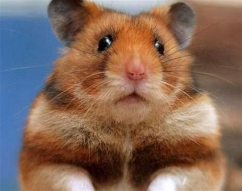 X Bamester Picture 1 Of 10 Hamster Mesocricetus Auratus Pictures