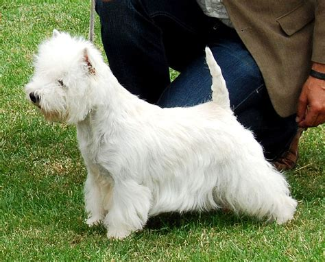 cesar cut for dogs west highland white terrier breed information purrs n grrs