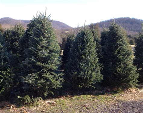 christmas tree farm virginia trees spruce rock farm