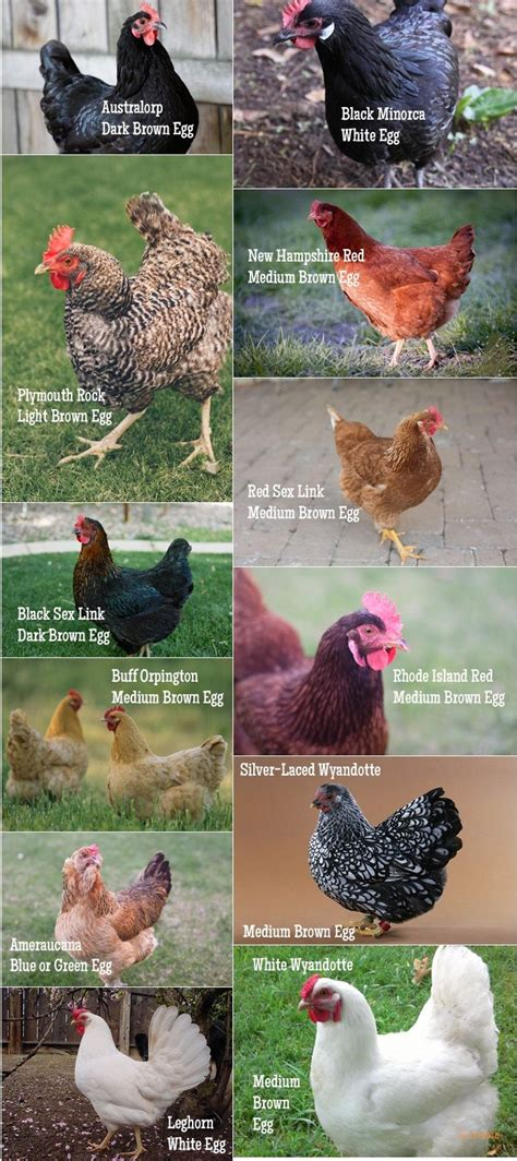 Chicken Breed Chart Pinned Just For My Son Who Loves My Backyard Chickens