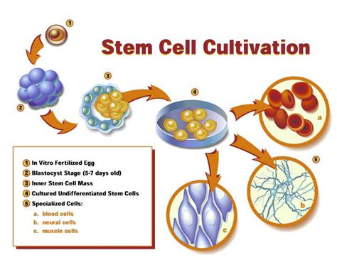 stem cells mulitcellular organisms
