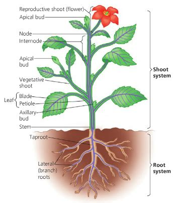 labeled flowering plant diagram image gallery labled plant
