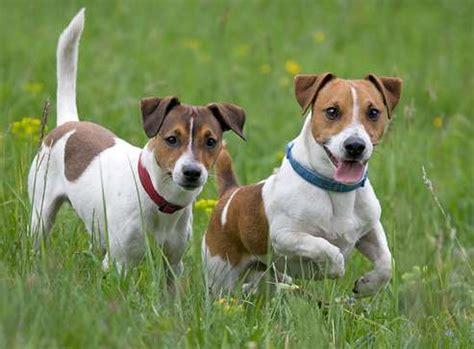cani piccola taglia pelo corto da appartamento cani da appartamento piccola taglia le razze perfette