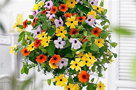 10 Most Beautiful Flowers You Can Grow by 1000 Ideas About Black Eyed Susan Vine On
